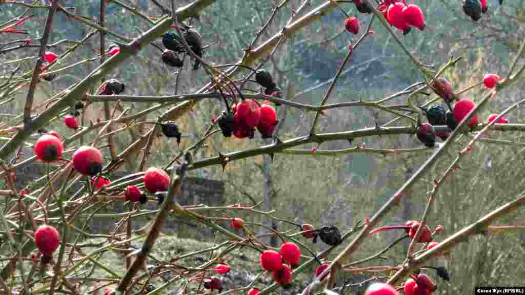 Ягоди шипшини яскраво червоніють на схилах гори Гасфорта