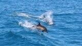 Дельфины в территориальных водах Грузии