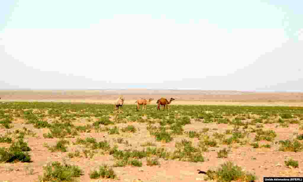 Camels roaming in the sandy expanse of the Navoi region.