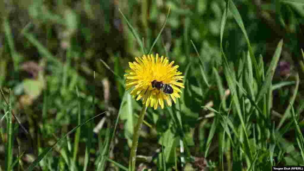 Квіткова муха збирає нектар з кульбаби звичайної. Кульбаба – лікарська рослина