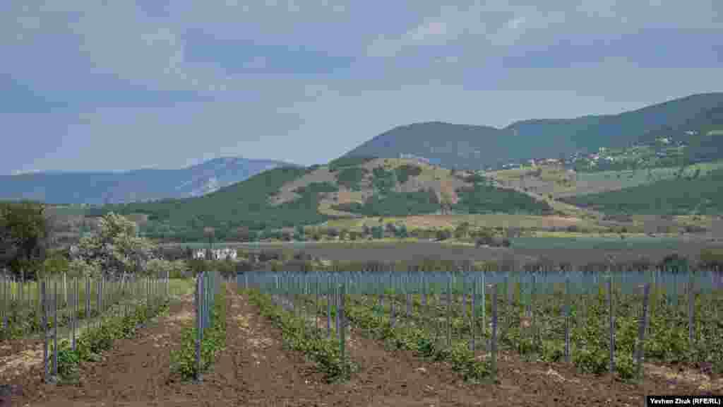 А эти виноградники новые, им еще предстоит дать свой первый урожай