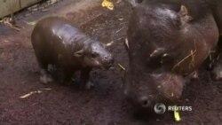 Детеныш гиппопотама впервые появился на публике в австралийском зоопарке