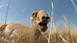 A Dangerous Road For Kazakhstan's Saiga Antelope