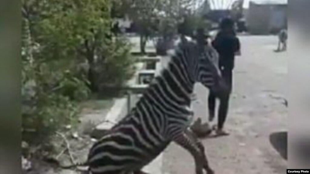 باغ وحش صفادشت: سوء مدیریت و استرس باعث مرگ گورخر آفریقایی شد