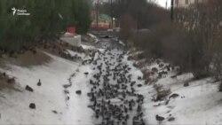 Тысячи уток оккупировали Петергоф