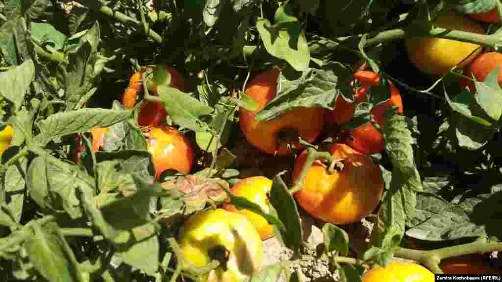 Эгин талаасында бышып жаткан помидорлор.
