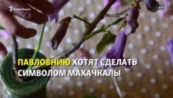 """""""Символом Махачкалы - павловнию"""". Но она там не растёт"""