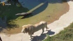 Крокодил і лев у сафарі-парку