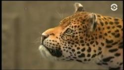 Робот-леопард Лилу борется за живых собратьев