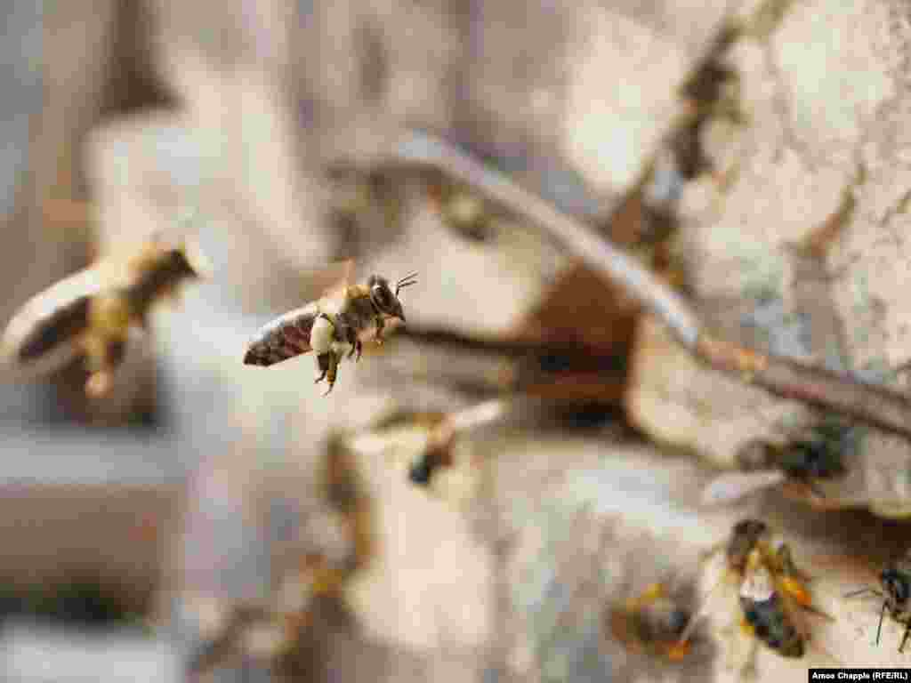 Кавказские горные серые пчелы, которые производят мед джара, ценятся во всем мире за их устойчивость к холодному климату и длинные хоботки, которыми им удается добраться до нектара, недоступного другим видам. Эти пчелы относительно послушны, но их укусы необычайно болезненны