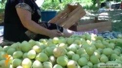 Գյուղացիները «թալան» են որակում ծիրանի մթերման գինը