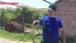 Армению атакуют ядовитые змеи: укушены уже почти полсотни человек