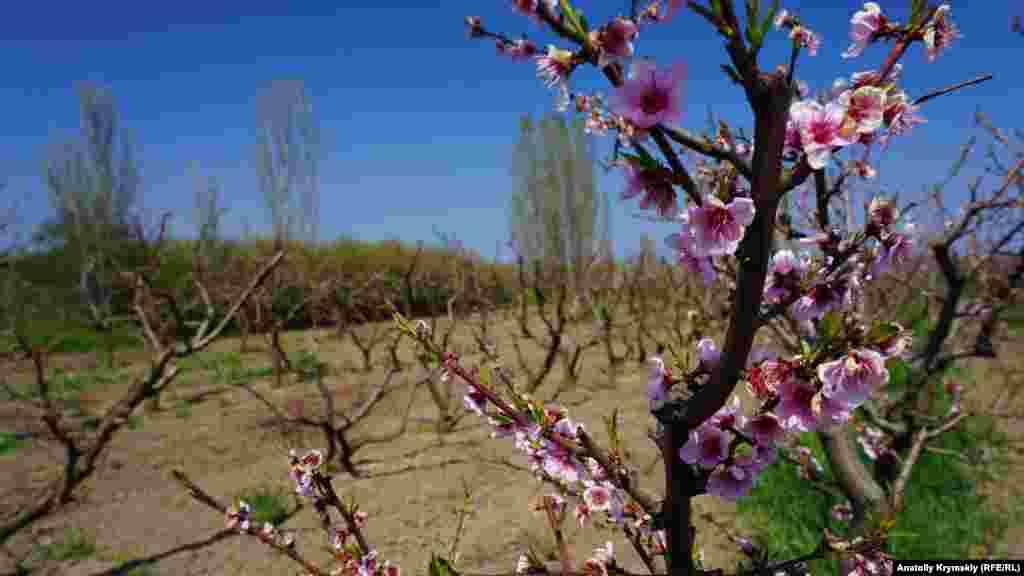 Отцветает персиковый сад