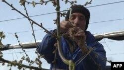 Освен децата и пенсионерите, почти всички жители на Бръщен отиват да работят всяка година във ферма за малини във Великобритания