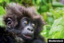 A fluffy-furred young mountain gorilla in Rwanda's Volcanoes National Park. Photo by Shutterstock