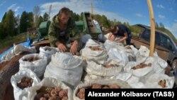 Сбор кедровых орехов в России, иллюстрационное фото