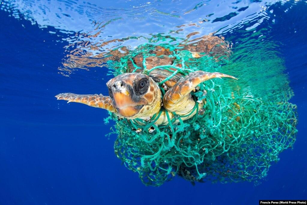 Një breshkë deti arrin të largohet nga rrjetat e peshkimit dhe noton në brigjet e Tenerifes në Spanjë.