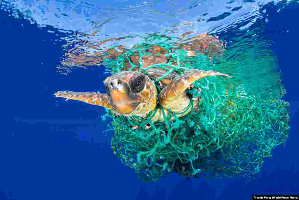 A sea turtle entangled in a fishing net swims off the coast of Tenerife, Canary Islands, Spain, on June 8, 2016. Nature -- First Prize, Singles (Francis Perez)