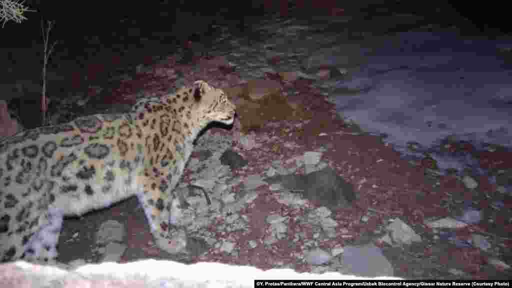 The Hissar reserve, Uzbekistan's largest, lies on the westernmost edge of the snow leopard's known habitat, scientists say.
