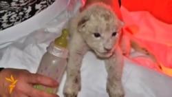 Зоопарк у Тбілісі має білих левенят
