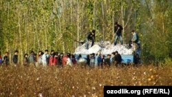 Пахта теримге чыккан студенттер. Өзбекстан. 2014-жыл