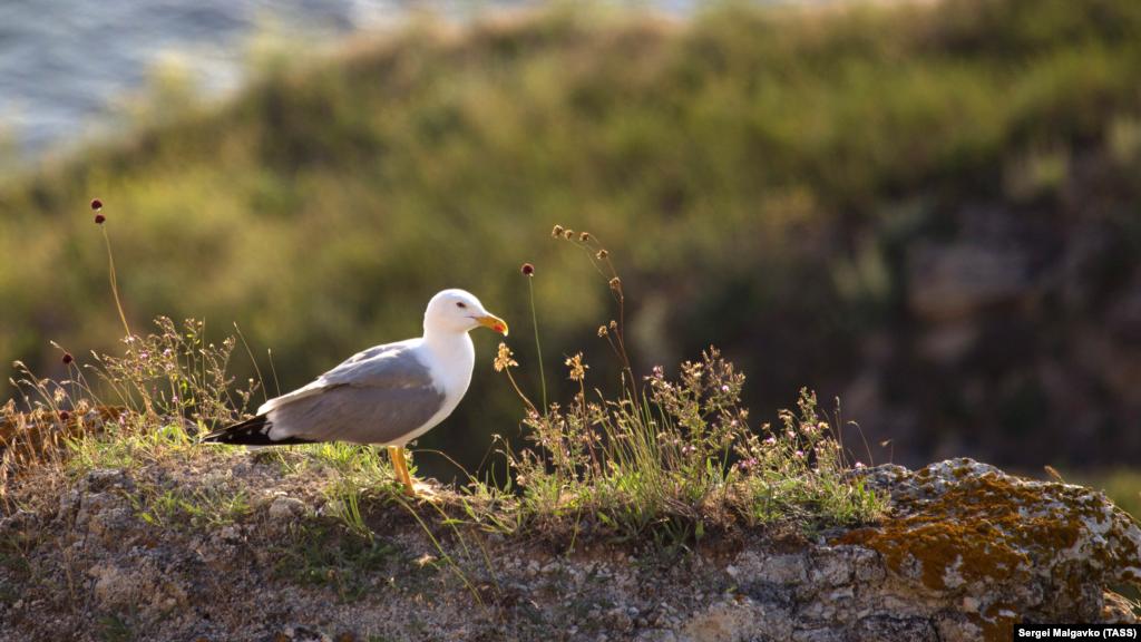 Чайка на территории национального природного парка «Прекрасная Гавань»
