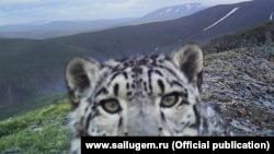 A snow leopard in Sailyugemsky National Park