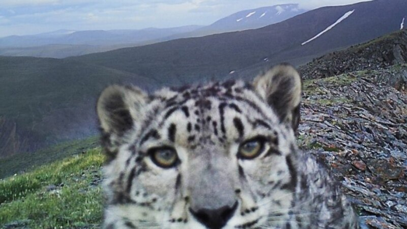 Snap Cat: Former Poachers Swap Guns For Cameras To Save Russia's Snow Leopard
