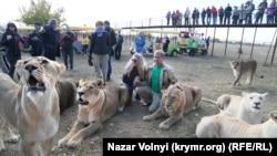 RFE/RL Ukraine correspondent Nazar Vilnyi photographed Crimea's big cats in the peninsula's Taigan Park.