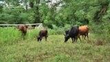 10 ძროხა და 1 ფერმერი სოფელ კონტუათიდან