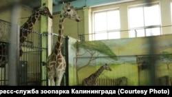 Новорожденный жираф в зоопарке Калининграда