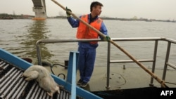 China -- A sanitation worker collects a dead pig from Shanghai's main waterway, 11Mar2013
