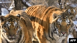 According to the World Wildlife Fund, only about 3,200 tigers currently live in the wild -- down from an estimated 100,000 of the big cats a century ago.