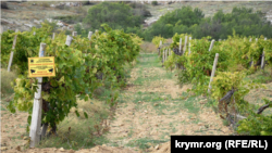 Виноградники агрофирмы «Золотая Балка» в Балаклаве