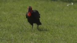 خطر انقراض در کمین یک پرندۀ آفریقایی