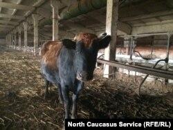 Скучающая корова, которую оторвали от мусорного контейнера