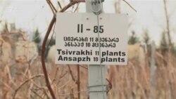 Абхазские сорта винограда выращивают около Тбилиси