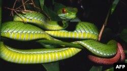 افعی چشمیاقوتی که به تازگی در جنگلهای ویتنام کشف شدهاست.