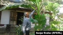 Нармухаммад аванын бананы.