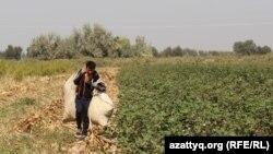 Сборщик хлопка из Узбекистана несет мешки с сырцом. 20 сентября 2016 года.
