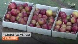 Садовод выращивает карликовые морозостойкие яблоки в Якутии
