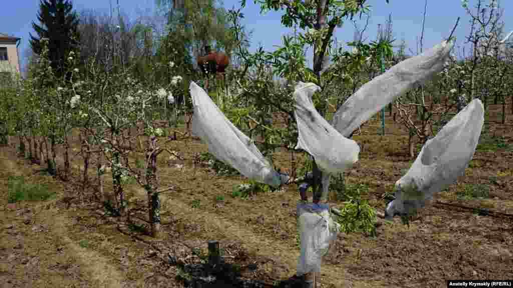 Мичуринским методом гибридизации до сих пор пользуются здешние селекционеры. Цветки на груше защищены марлевыми чехлами от переопыления пчелами