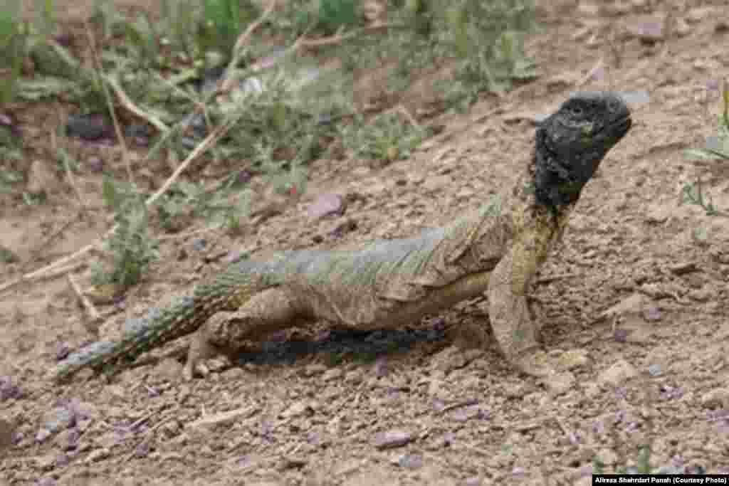 نام علمی: Uromastyx aegyptia، نام فارسی: سوسمار خار دم مصری، نام انگليسی: Egyptian Spiny -tailed Lizard،طول پوزه تا مخرج: ۳۵ و طول دم ۲۵ سانتيمتر، پراکندگی در ايران: فارس، بوشهر، خليج فارس