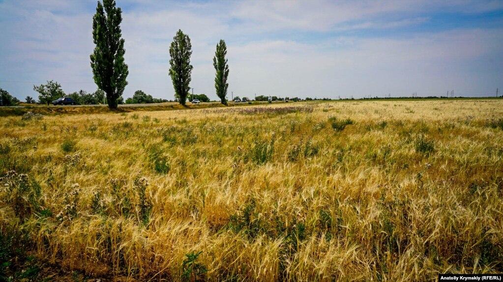 А тем временем ячменное поле с густыми сорняками на околице села в ожидании уборки