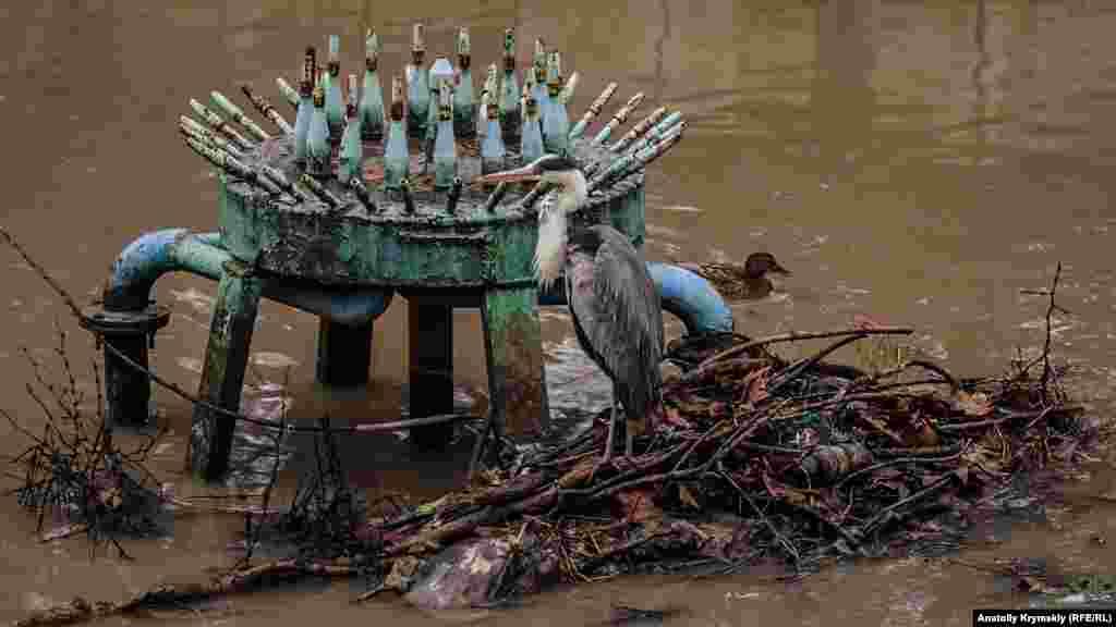 Самотня сіра чапля обживає цей «сміттєвий острів» у фонтанних труб із минулого року