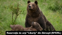 Bear from the Liberty Reservation in Zarnesti, Romania