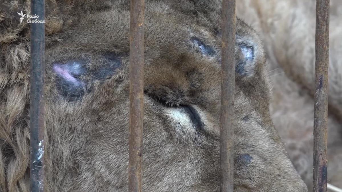 Любить людей им пока не за что – спасены хищники из Покровская теперь в Запорожье (видео)