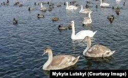Лебеді на озері у заповіднику «Клебан Бик», що на Донеччині. Лютий 2020 року