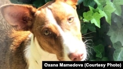 Этого сбитого машиной щенка поденко спасла и вылечила Оксана Мамедова