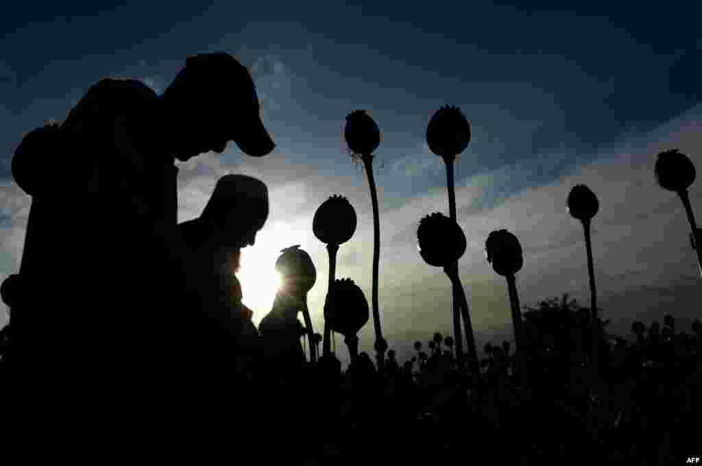 Аўганскія фэрмеры зьбіраюць опіюмны сок з сваіх макавых палёў у правінцыі Нангархар.